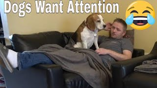 When Beagle Dogs Want Attention