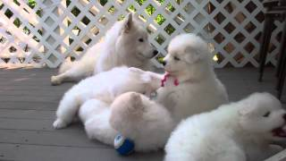 """Samoyed puppies (37 Days old) – """"manners"""""""