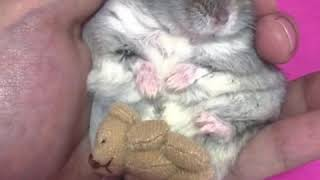 #Cute, #funny or relaxing #HAMSTER videos – Pampered #hamsters