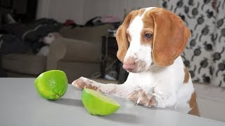 Cute Puppy vs Limes: Cute Dogs Potpie & Maymo