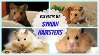 Syrian Hamsters | FUN FACTS #2