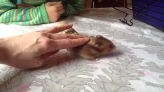 The Amazing Little Quack (Hamsters Are Fun!)
