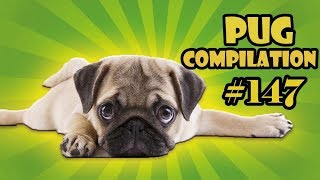 Pug Compilation 147 – Funny Dogs but only Pug Videos | Instapug