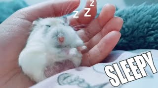 My Little Hamster  Was Sleepy And Funny Hamsters | POP Pets 🐹