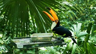 Toco Toucan Bird Video || Exotic Pets || Birds with long beaks || Cute Bird
