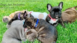 Funny and Cute French Bulldog Puppies Compilation #47 | Baby Pool Party | Dogs Are Awesome