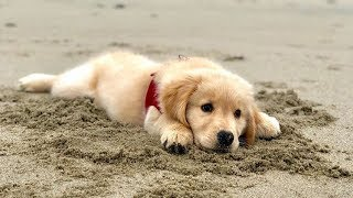 Funny And Cute Golden Retriever Puppies Compilation – Funny Golden Retriever Puppies | Puppies TV