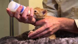 Orphaned Kitten Care: How to Videos – How to Bottle Feed an Orphaned Kitten