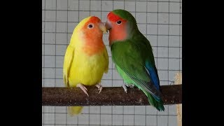 Cute Peach Faced Love Birds At Karanji Lake Of Mysore