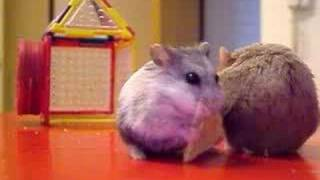 Hamsters Fighting Over Crackers
