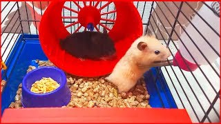 🐹 The secret life of my FUNNY pet hamsters! A Cute And Funniest Video for Kids #pethamster