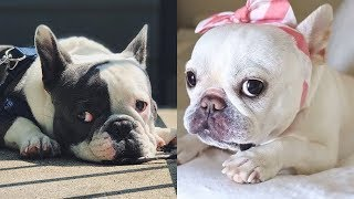 Funny and Cute French Bulldog Puppies Compilation #54 | Dogs Awesome