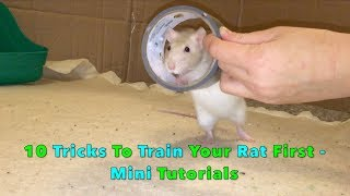 10 Tricks To Train Your Rat/Mouse First – Mini Tutorials