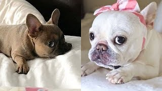 Funny and Cute French Bulldog Puppies Compilation #53 | Dogs Awesome