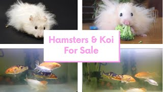 Aquarium tank with koi Fishes | Cute Hamsters for Sale…