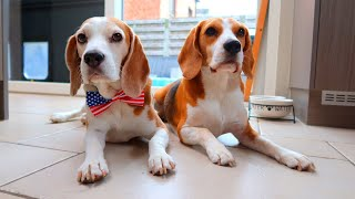 Daily Life with BEAGLES   Funny Dogs Louie & Marie