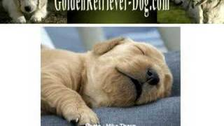 Golden Retriever Puppies – Temperament to look for