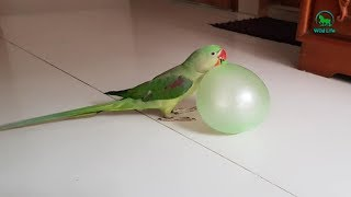 Naughty Tame Birds Doing Extreme Fun – Funny Pet Birds Craziest video
