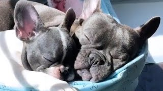 Funny and cute French Bulldog puppy compilations 2019 #31 | cute dogs doing funny things 2019