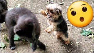 Teacup Yorkie Disciplines Lycan Shepherd Puppies
