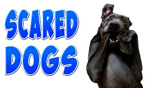 Funny Scared Dogs – Funny Dogs Compilation