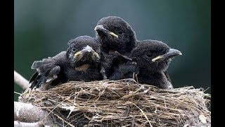 The Cutest Baby Crows Sleeping