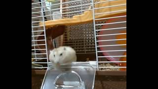 Cute and Funny Hamsters Videos 2019 🐹 DienMsm #48
