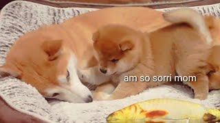 Puppy hurt his mom 😥- Shiba Inu puppies (with captions)