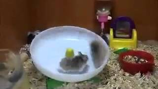 2 Hamsters 1 Wheel (funny / Cute)