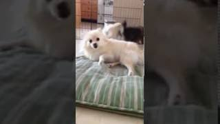 Pomeranian Puppies Playing with Mom