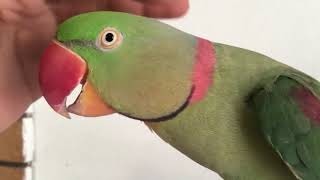 indian ringneck parrot talking | funny bird video