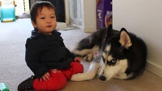 Funny Dogs and Babies Compilation 2017 – Husky and Baby Talking