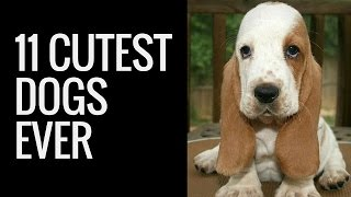 Cute Dogs Compilation | A List Of Top Eleven Cute Small Dogs