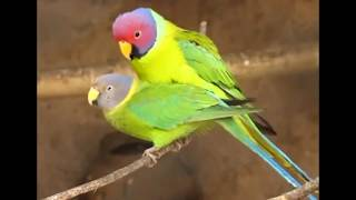The Cute Parrots Are In Romantic Mood birds mating