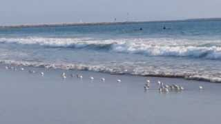 So Cute! Little Sandpiper Birds Run In and Out of the Pacific Ocean at Venice Beach California!