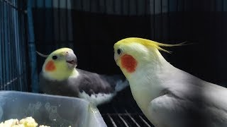 Naughty Pet Birds Doing Extreme Fun – Funny Birds Going Crazy – Funniest Parrots Compilation