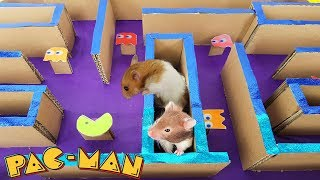 Maze Pacman Race For Three Cute Hamsters Running | LABERINTO PARA HAMSTER