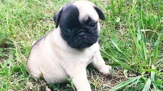 Funny Pug Dog Moments Compilation #9 – Cute Dogs Video