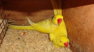ringneck parrot breeding cage  & cute parrot  ( bird  videos )