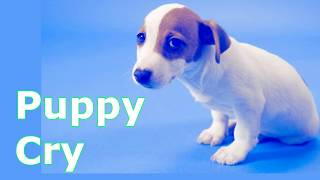 Puppy Crying Sound   Puppy Crying Sound Effect to Stimulate Your Dog