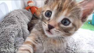 Mimic's kitten superpower is cuteness (AND being invisible next to mama) –  TinyKittens.com