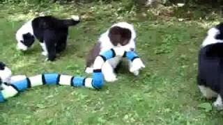 Bearded Collie Puppies Playing