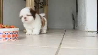 Home Alone Puppy | Shih Tzu