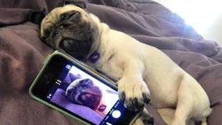 Funny Dogs but only Pug Videos | Pug Compilation 4 – InstaPugs