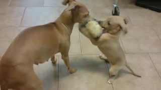 6 week old Italian Greyhound puppies playing Tug-o-war