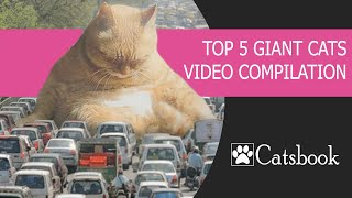 TOP 5 Giant Cats Video Compilation | Best Funny Cat Videos by Catsbook