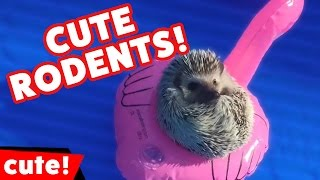 Funniest Mice, Squirrels, Hamsters & Rodents Compilation October 2016 | Kyoot Animals