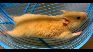 Funny hamsters in wheel videos   Funny animals compilation  2019