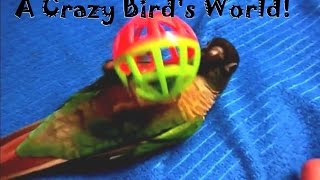 Funny Parrot Play Compilation: cute green cheek gone crazy!