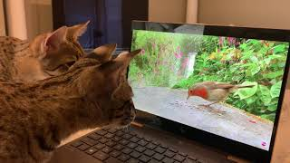 Cute Cats Reaction To Seeing And Hearing Birds On The Computer.  The Ending Is Funny!/Funny Cats